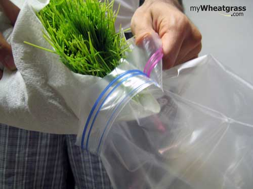 Wheatgrass Storage