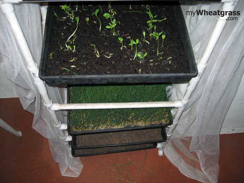 Where to Grow Wheatgrass?